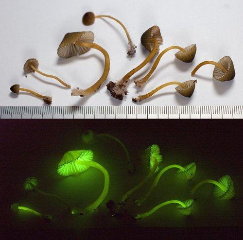 Glowing Mushroom Kit